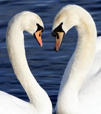 Swans400x452
